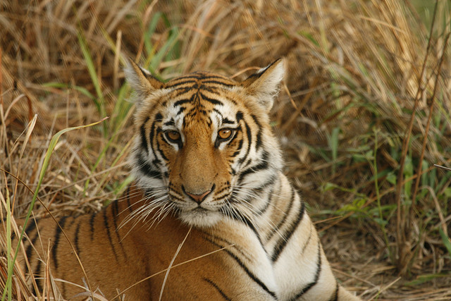 Tigress Corbett National Park