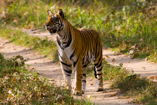 Kanha National Park Tiger