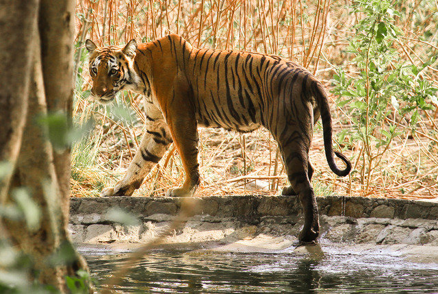 Tigress in Bijrani Range