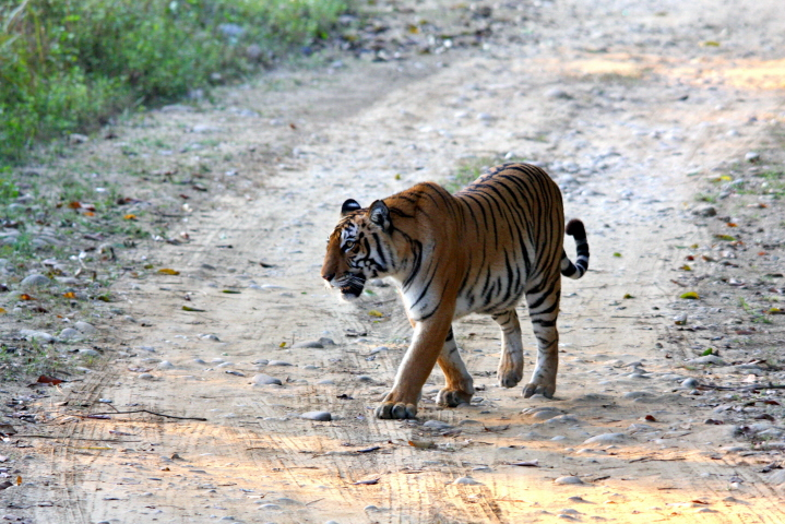 Tigeress_Walking_inside_the_Corbett_National_Park