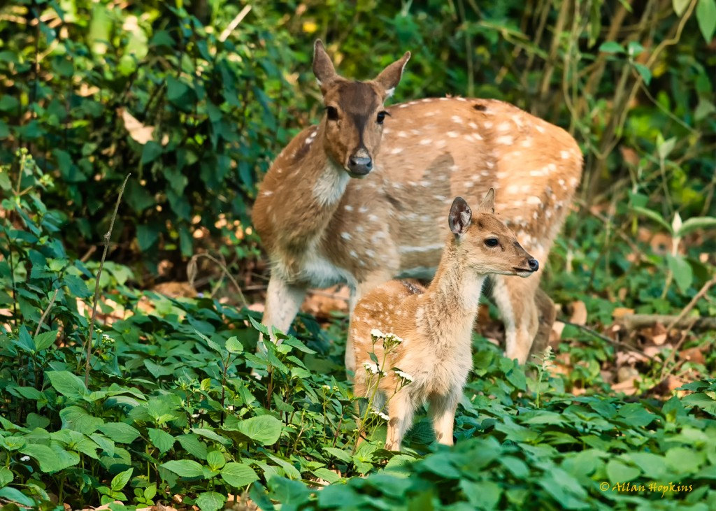 Spotted Deers @ Corbett National Park