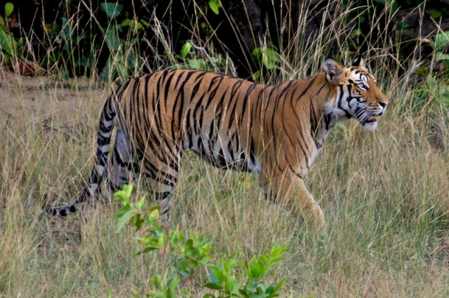 Bandhavgarh National Park Tiger