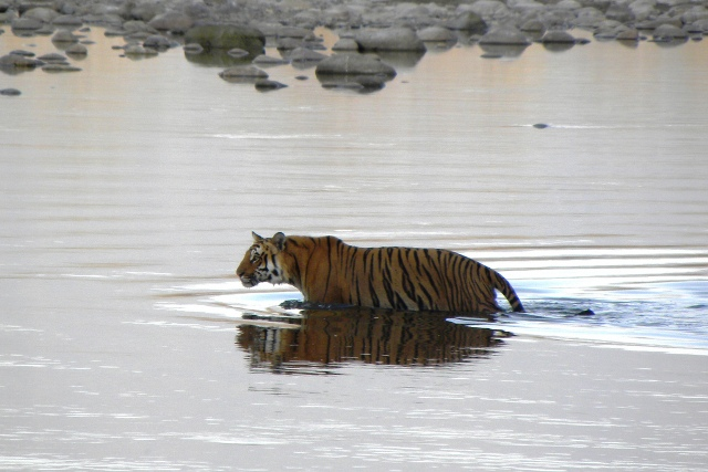 Corbett National Park Tiger