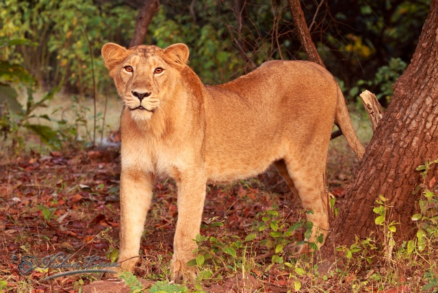 Gir Forest National Park Lion