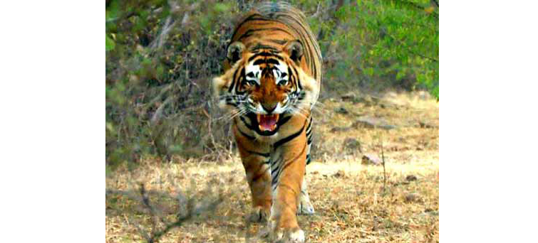 Jim Corbett National Park Tiger