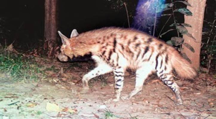 striped-hyena-sighted-in-corbett