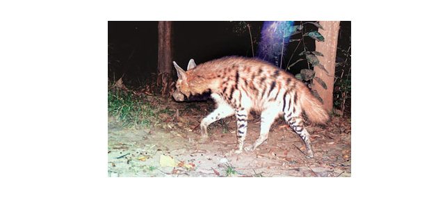 Striped Hyena Sighted at Corbett
