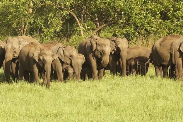 corbett-elephants